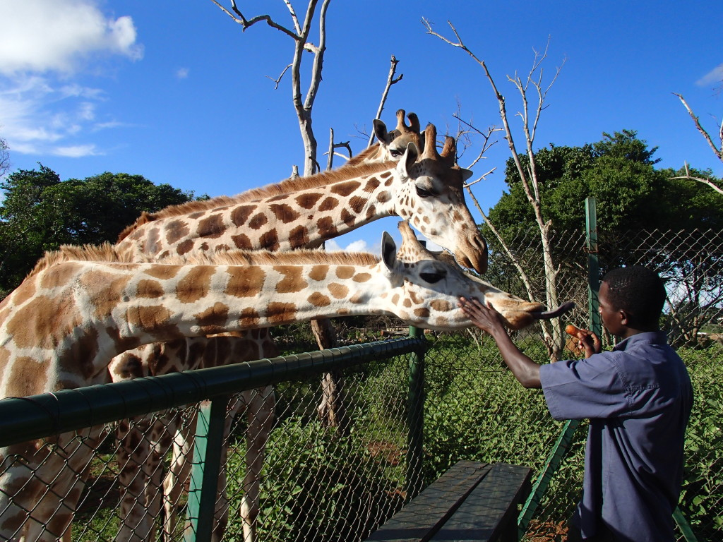 Uganda Wildlife Education Centre giraffe