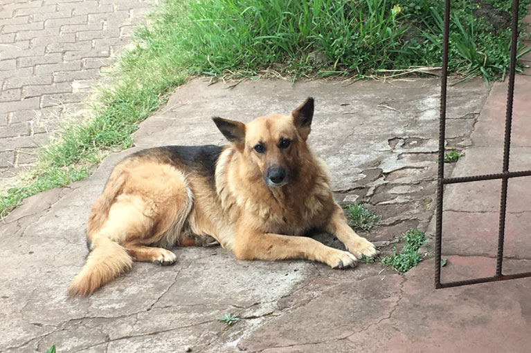 Dog in Hanga Roa