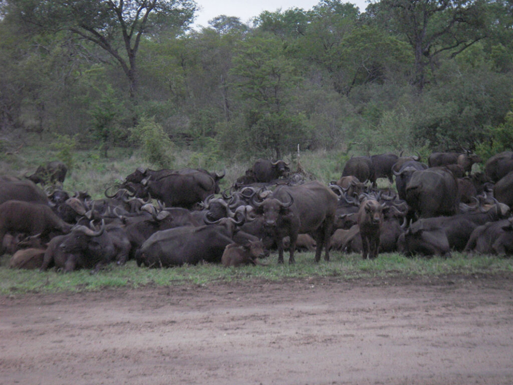 Cape Buffalo in Kruger Park South Africa