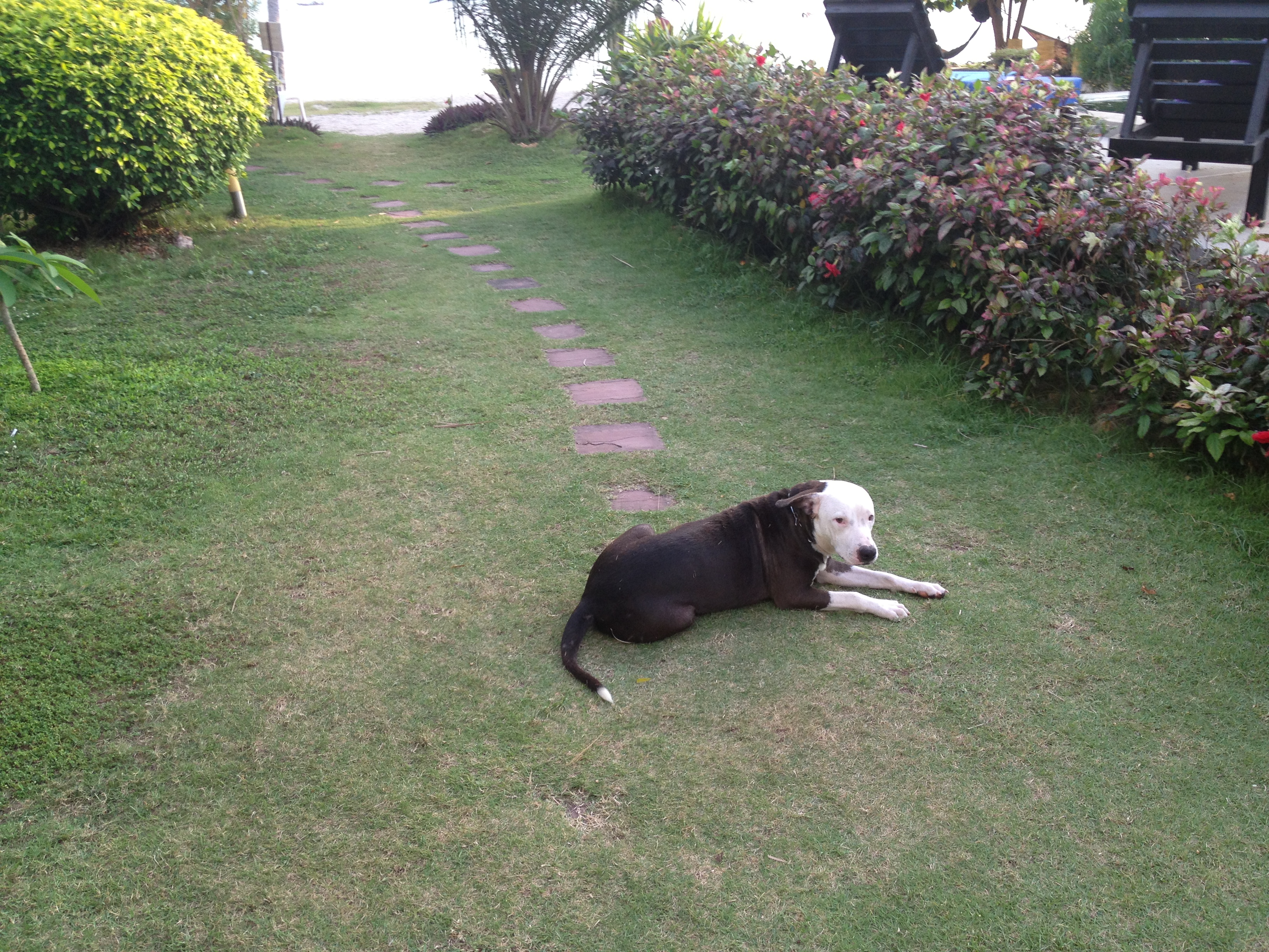 beach dog Koh Phangan