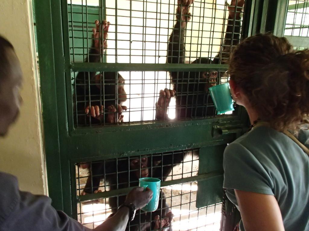 baby chimps at Uganda Wildlife Education Centre