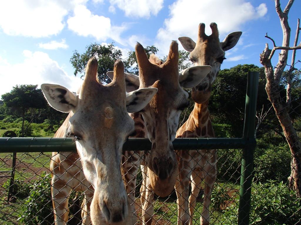 giraffe at Uganda Wildlife Education Centre