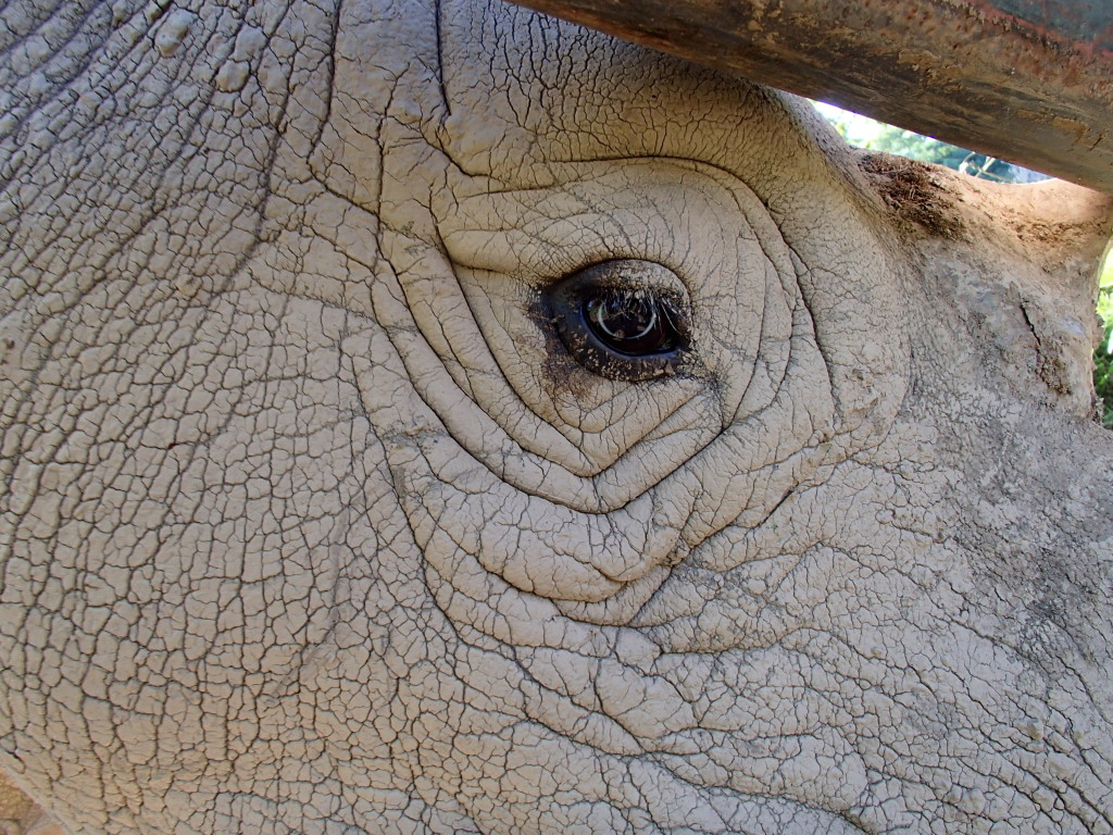 white rhino Uganda Wildlife Education Centre