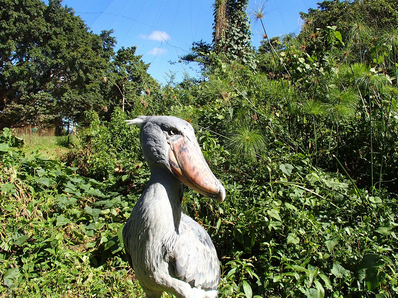 shoebill stork at Uganda Wildlife Education Centre
