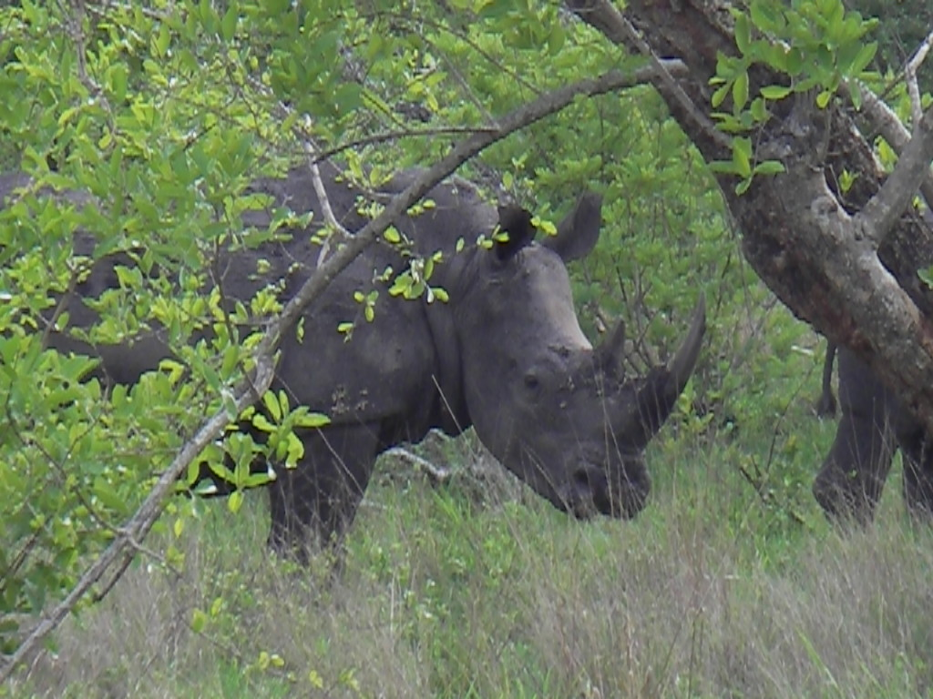 Rhino at Kruger National Park South Africa