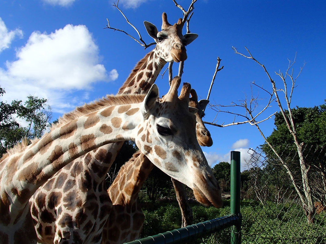 giraffes at uganda wildlife education centre