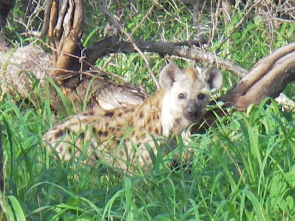 hyena at Kruger Park South Africa