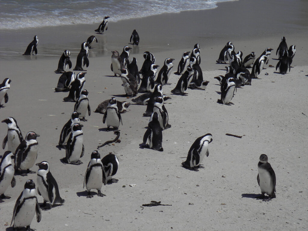 penguins Boulder Beach South Africa