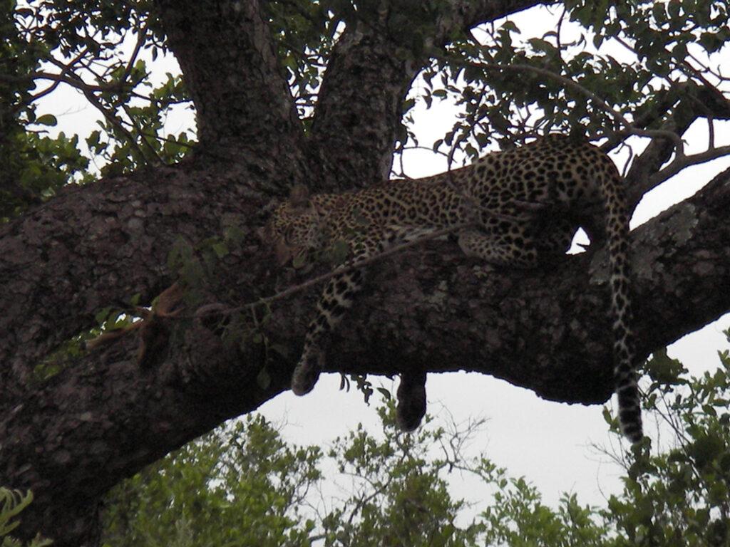 cheetah at Kruger National Park